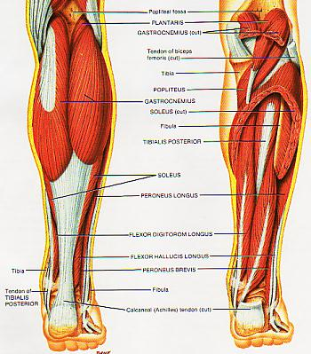 Calf Muscle Strains Sbr Sport