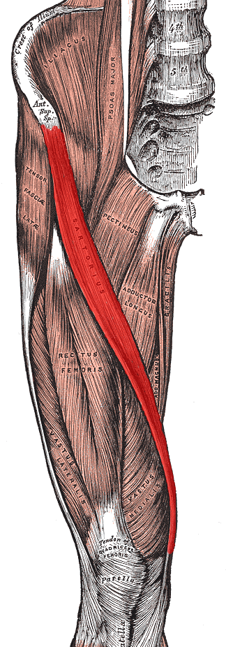 The Notorious Sartorius Muscle - Know your Muscles series ...
